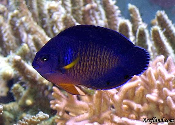 Coral_beauty_angelfish_303025 - Reefland Photo Gallery