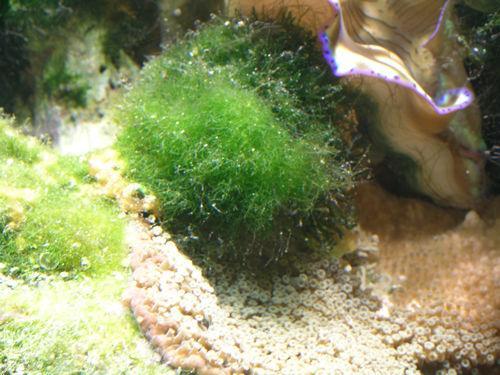 Nuisance Algae In The Reef Aquarium Part 1