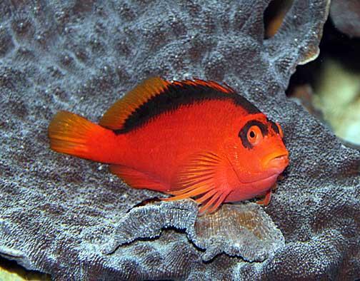 Hawkfish | Hawk Fish For Your Reef Tank Reefland Com