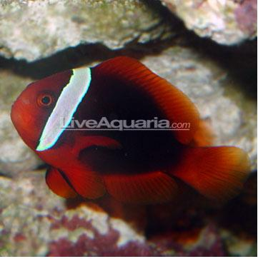 Tomato clownfish that adds beauty to your aquarium for Clown fish scientific name