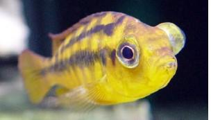 Common fish diseases your fish might get freshwater for Tropical fish diseases pictures
