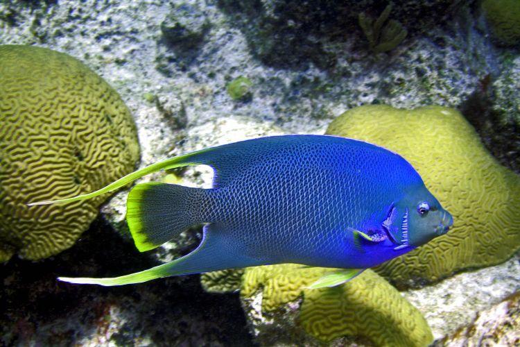 Holacanthus Genera Marine Angel Fish | Reefland.com