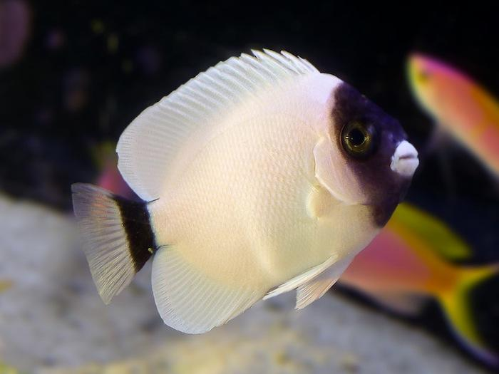 The beautiful and rare masked angel fish for Rare saltwater fish