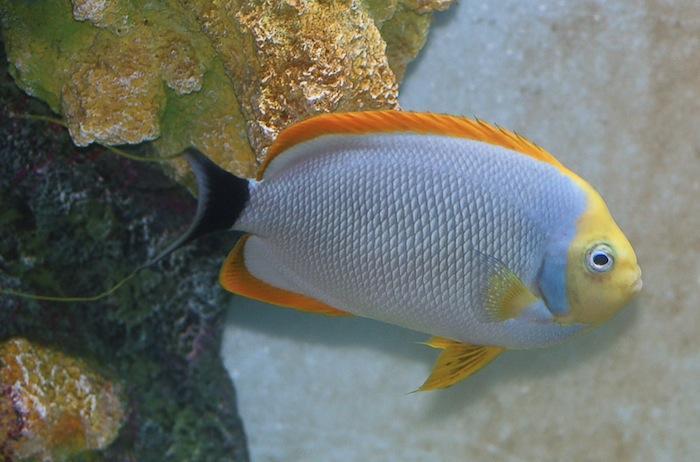 Image Gallery masked angelfish