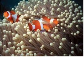 Anemones benefiting oxygen supply from clownfish for Clown fish habitat