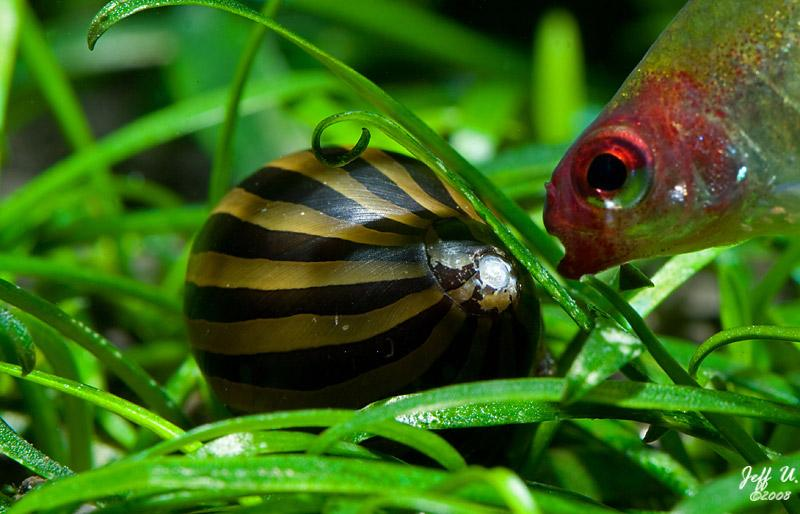 All about snails for your freshwater tanks for Fish tank snails