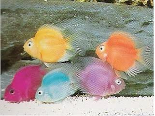 how to breed fish for long fin gene