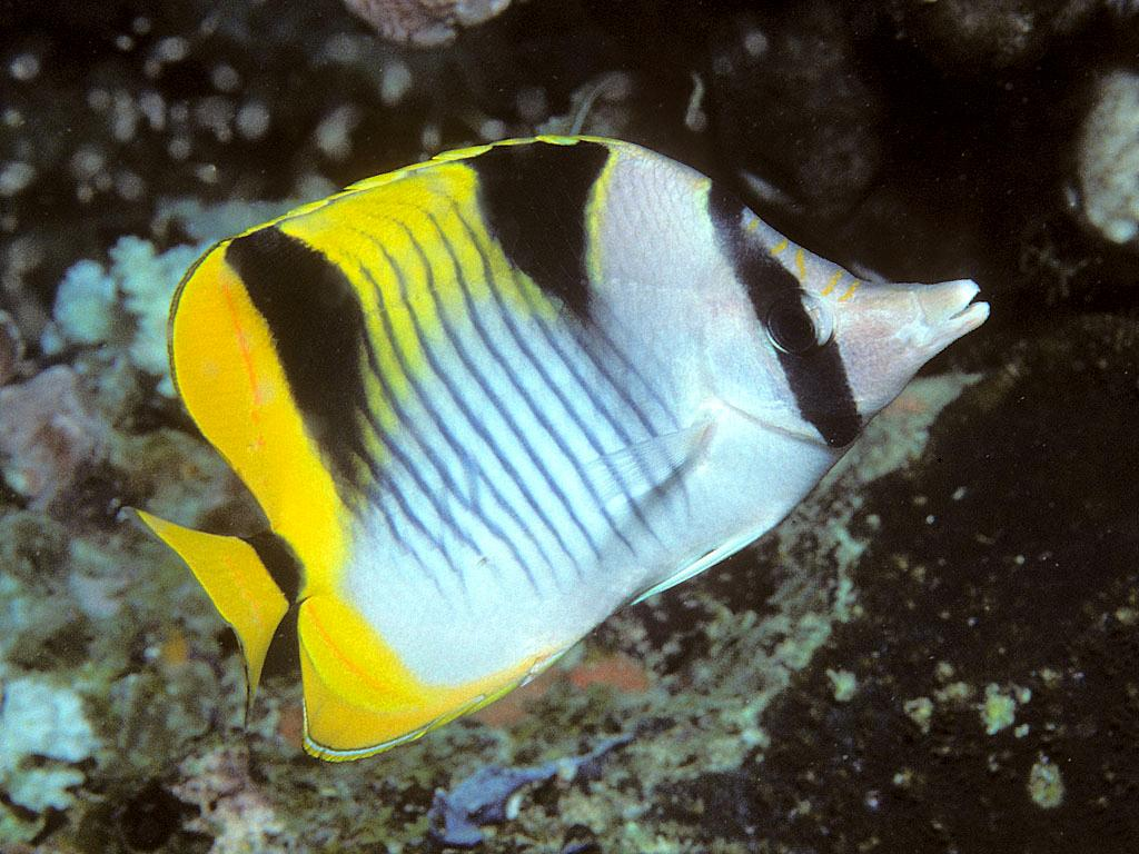 Adding butterflyfish to reef tank for Saltwater reef fish